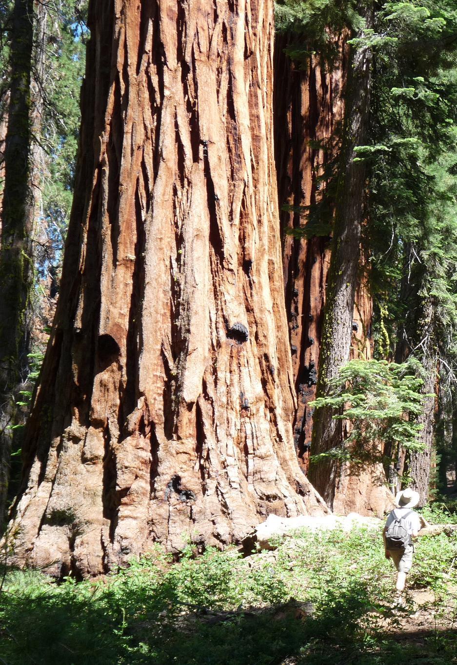 sequoia.jpg
